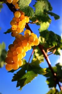 Une grappe de raisins blancs ensoleillée
